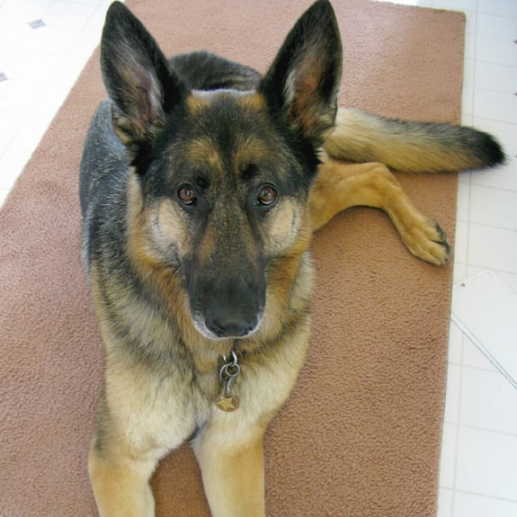 Tripawds GSD Wyatt Waits for Oracle