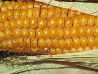 corn in pet food