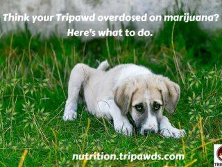 dog overdosed on marijuana