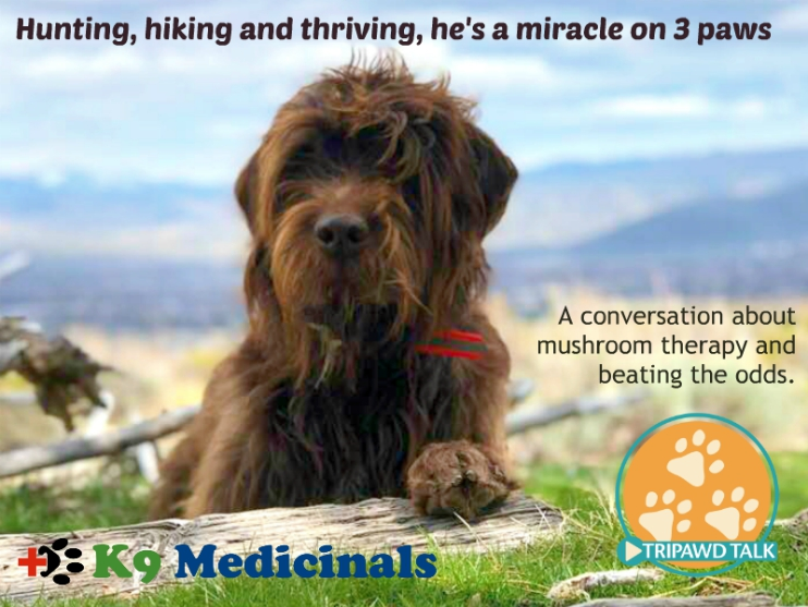 Canine osteosarcoma survivor medicinal mushroom therapy